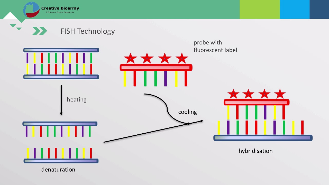 fluorescence in situ hybridization applications